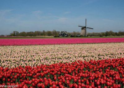 tulips holland windmill