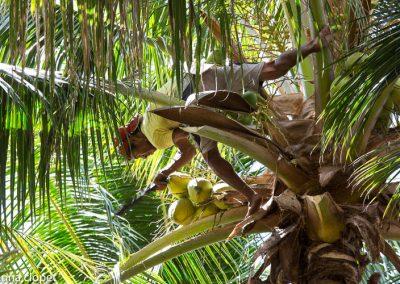 East Timor Palm wine
