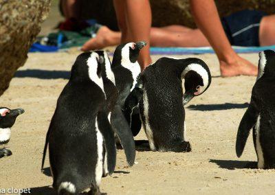 Penguins#southAfrica#Boulders-beach