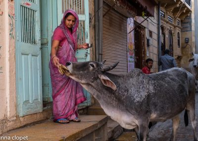 India#Rajasthan#cow#woman